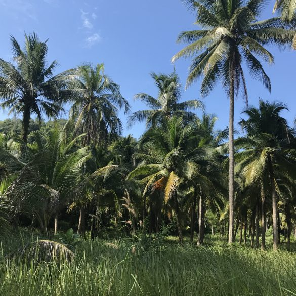 thailand coconut forest