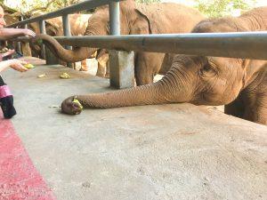chiang mai slonie indyjskie