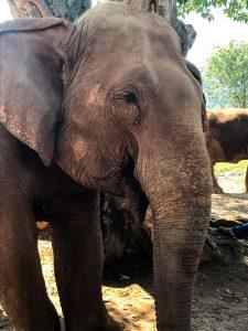 elephant nature park chiang mai slonie