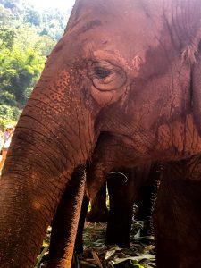 elephant nature park szczesliwe slonie