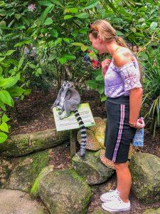 zoo lemur katta