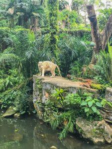 singapur zoo biały tygrys