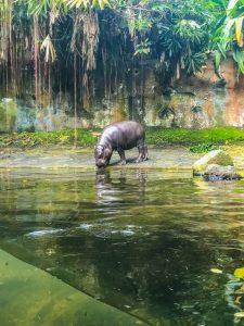 hipopotam w ogrodzie zoologicznym