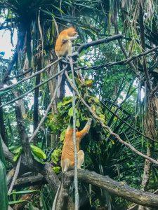 nosacz sundajski zoo