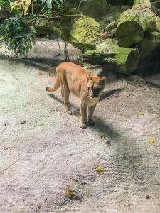 singapur zoo dzikie koty