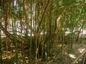 sycylia bambus